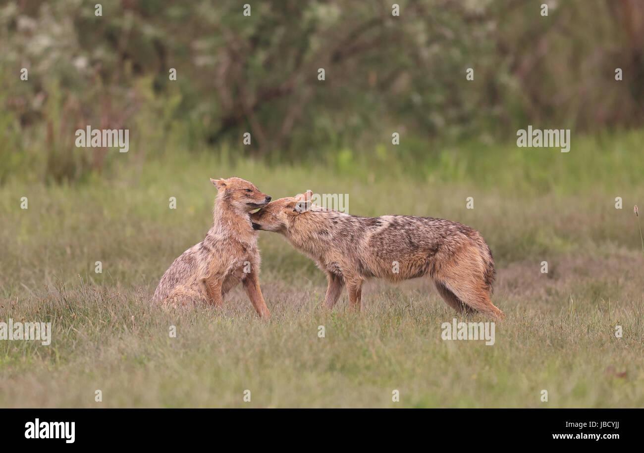 Goldenes Jackal oder europäischen Jackal (Canis Aureus) Interaktion Stockfoto
