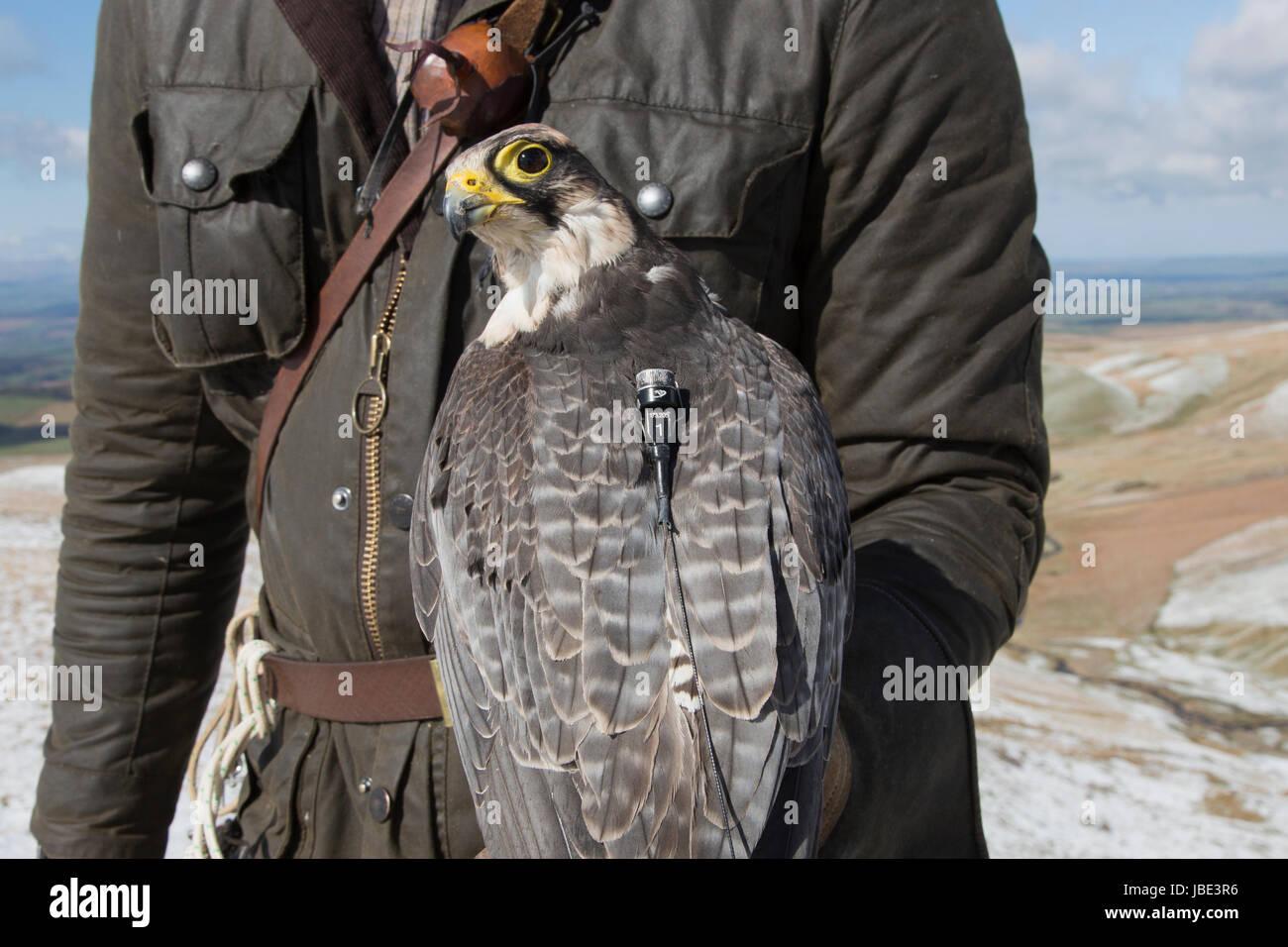 Lanner Falke (Falco Biarmicus) mit Sender, unverlierbare Falknerei Vogel, Cumbria, UK, April 2016 Stockbild