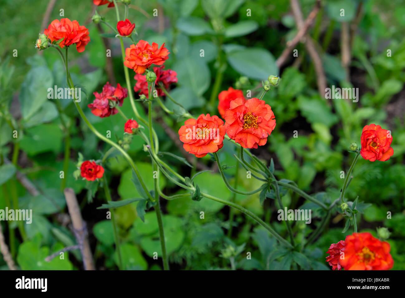 Red Chilosense Geum Frau J Bradshaw blüht im Juni in einem ländlichen Garten in Carmarthenshire Wales Stockbild