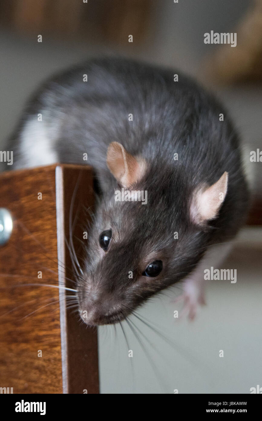 Ratte in Bewegung, Houserat, Hausratte, Farbratte, mein Haustier Ratte Stockbild