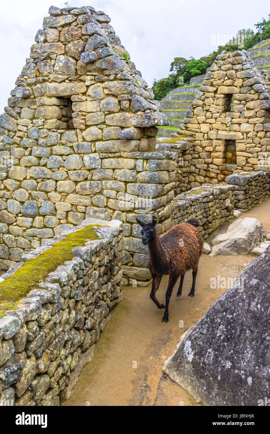 Lama Beweidung in Machu Picchu - Inka Ruinen in Anden Region Cuzco Stockbild
