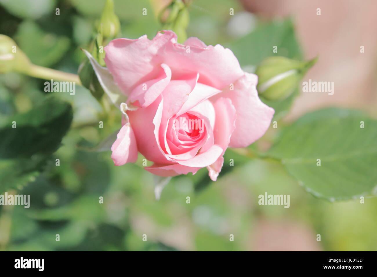 Rosa Rosa Rose eine Hecke Stockbild