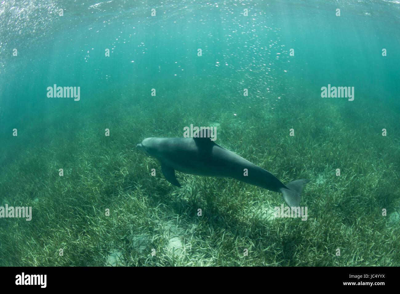 Ein großen Tümmler schwimmt über eine Seegraswiese in Turneffe Atoll vor der Küste von Belize. Diese Art ist ein Stockfoto