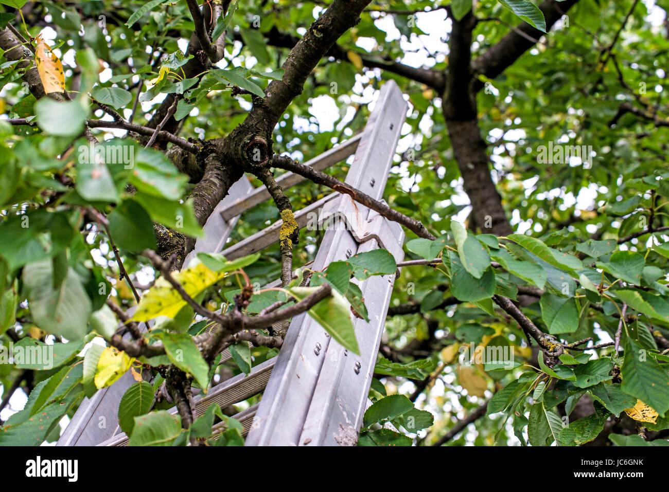 leiter ein obstbaum stockfoto bild 145203679 alamy. Black Bedroom Furniture Sets. Home Design Ideas