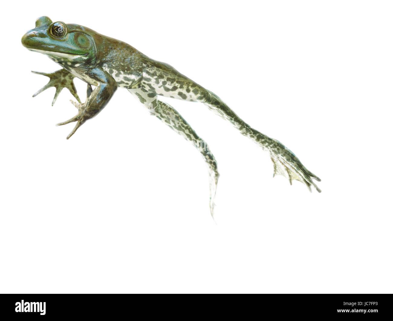 Frosch isoliert auf einem wei en hintergrund gr ner frosch springen hoch springen stockfoto - Frosch auf englisch ...