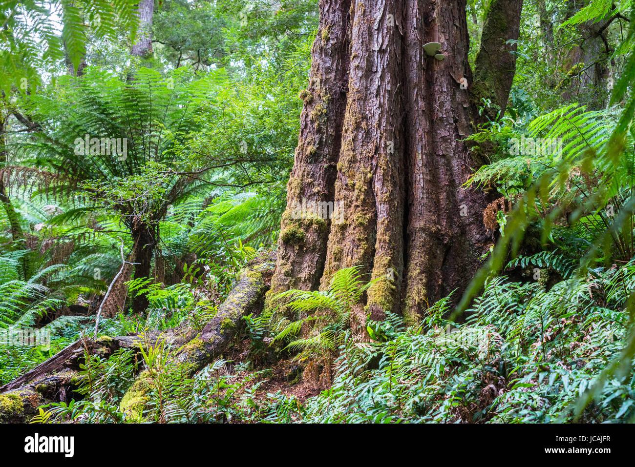 Dicksonia antarctica Regenwald an Melba Gully State Park, Great Otway National Park, Victoria, Australien. Stockfoto