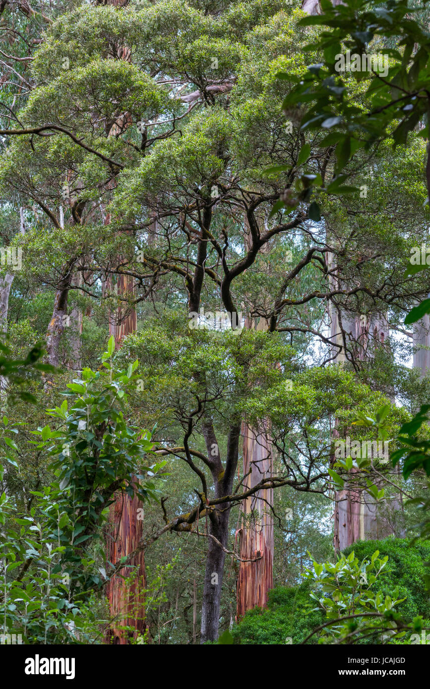 Dicksonia Antarctica Regenwald an Melba Gully State Park, Great Otway National Park, Vitoria, Australien. Stockfoto