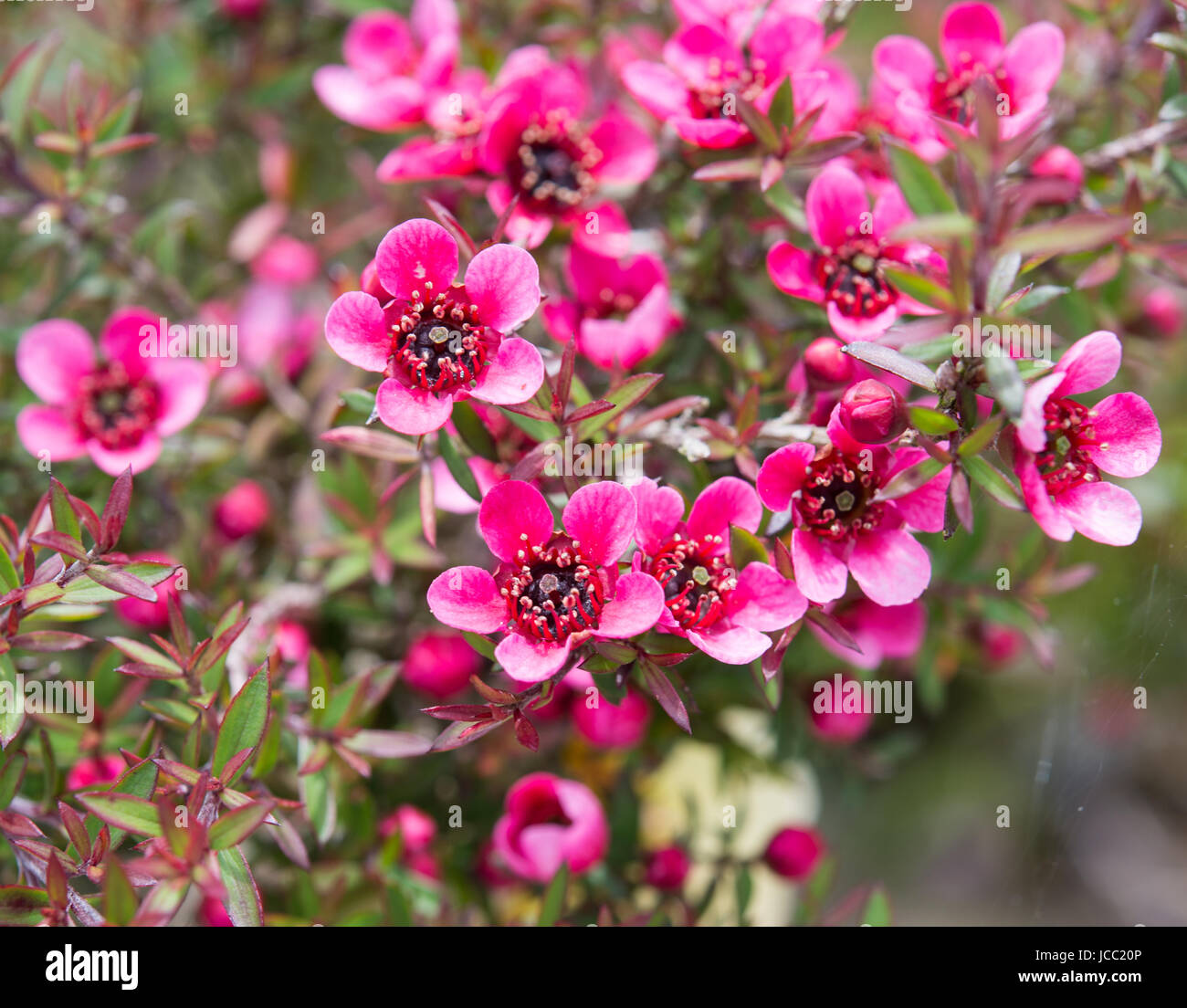 Rosa Manuka Busch Blumen Stockbild