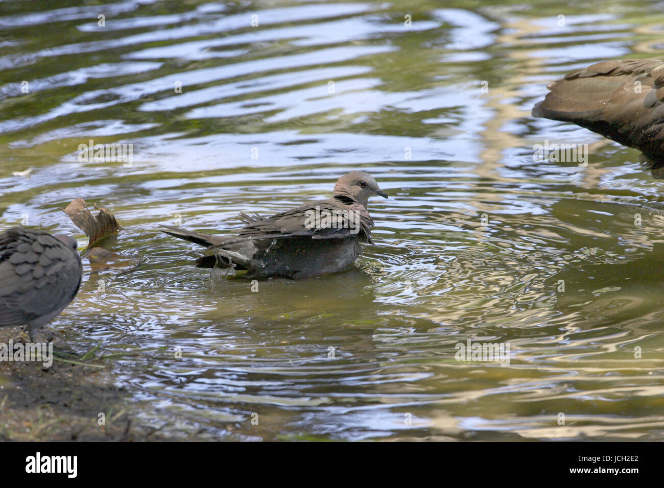 African Mourning Dove Stockfotos & African Mourning Dove Bilder - Alamy