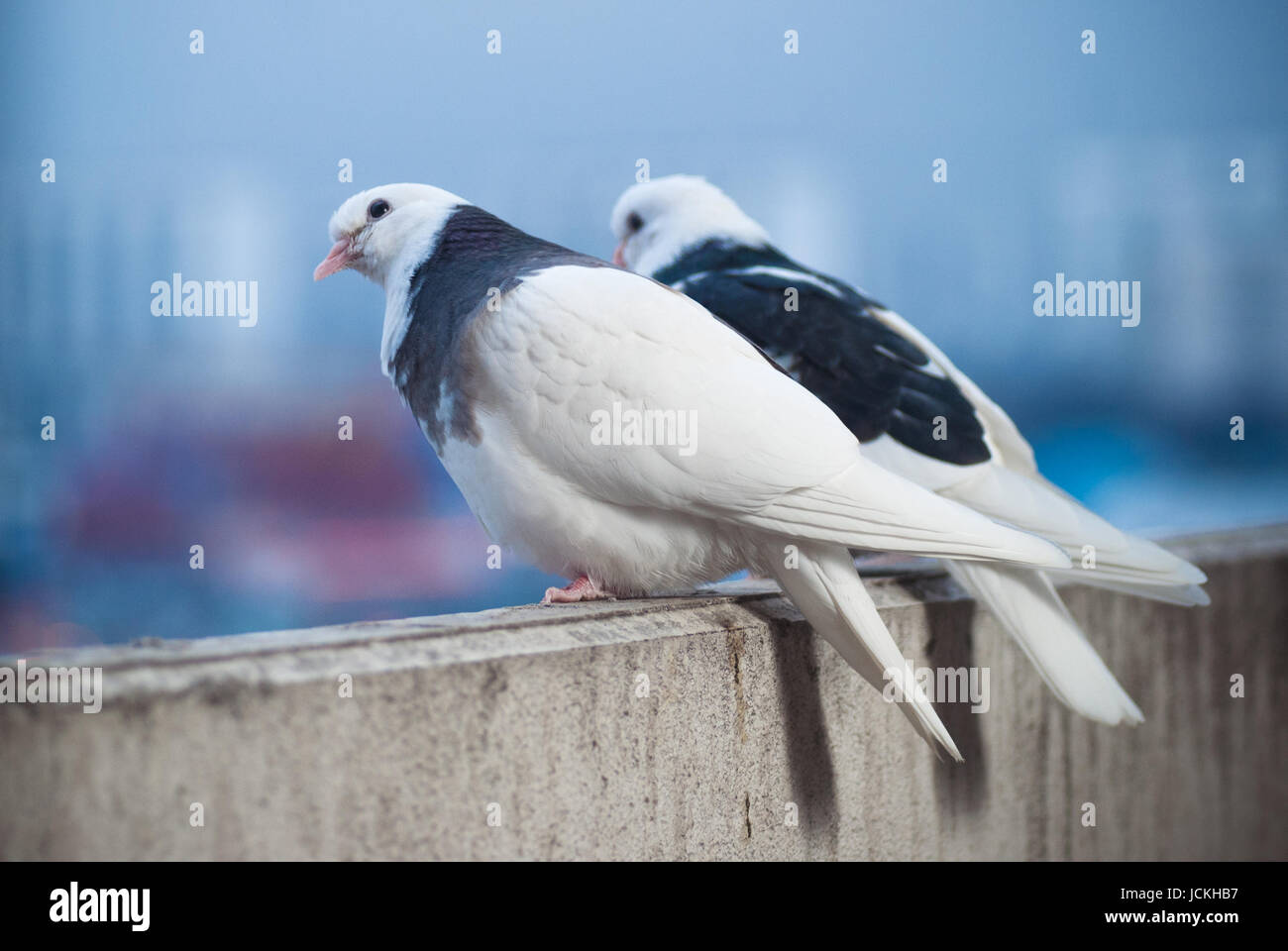 two pigeon stockfotos two pigeon bilder seite 6 alamy. Black Bedroom Furniture Sets. Home Design Ideas