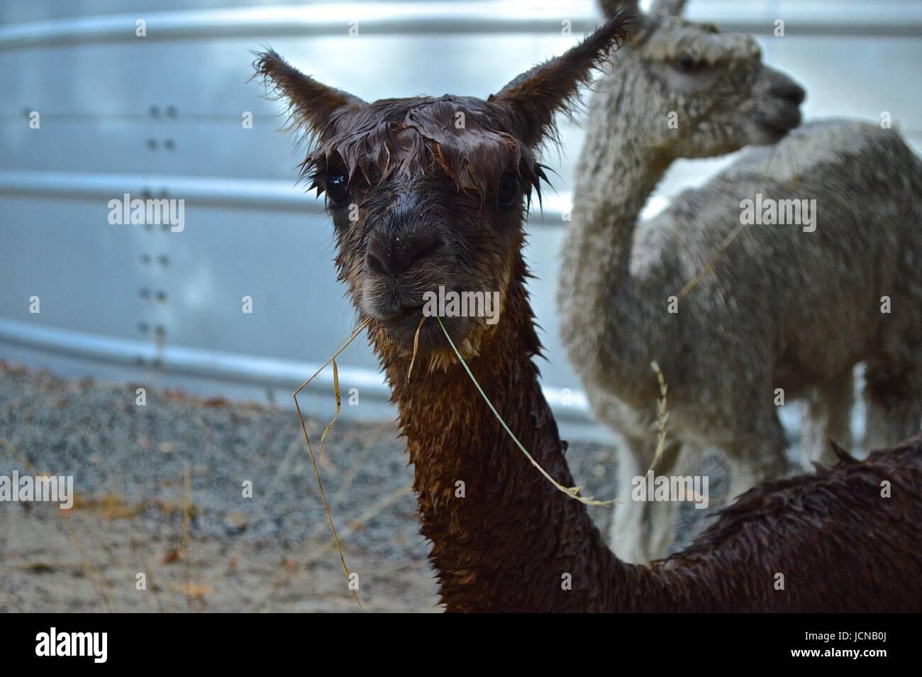 Nassen Alpaka mit Rasen in den Mund Stockbild