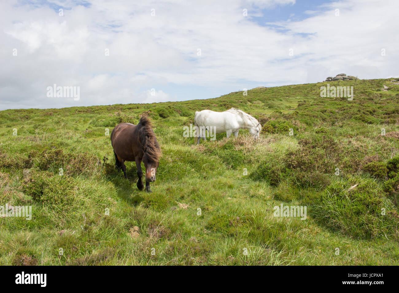 Wilde Ponys Weiden in der Nähe von Sattel-Tor auf Dartmoor, Devon Stockbild