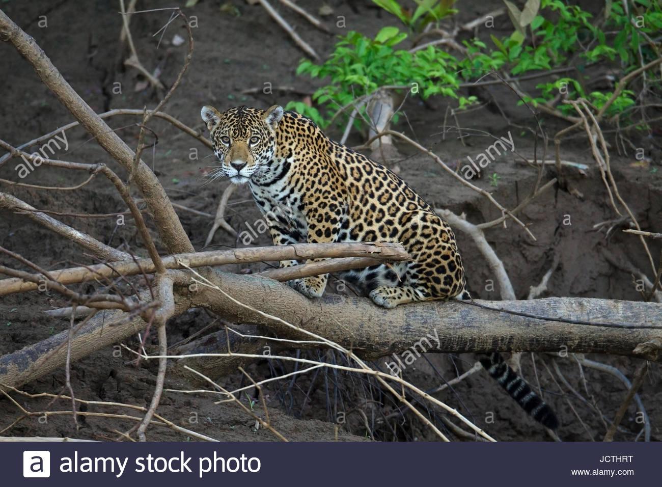 Ein Erwachsener Jaguar im Manu Nationalpark. Stockbild