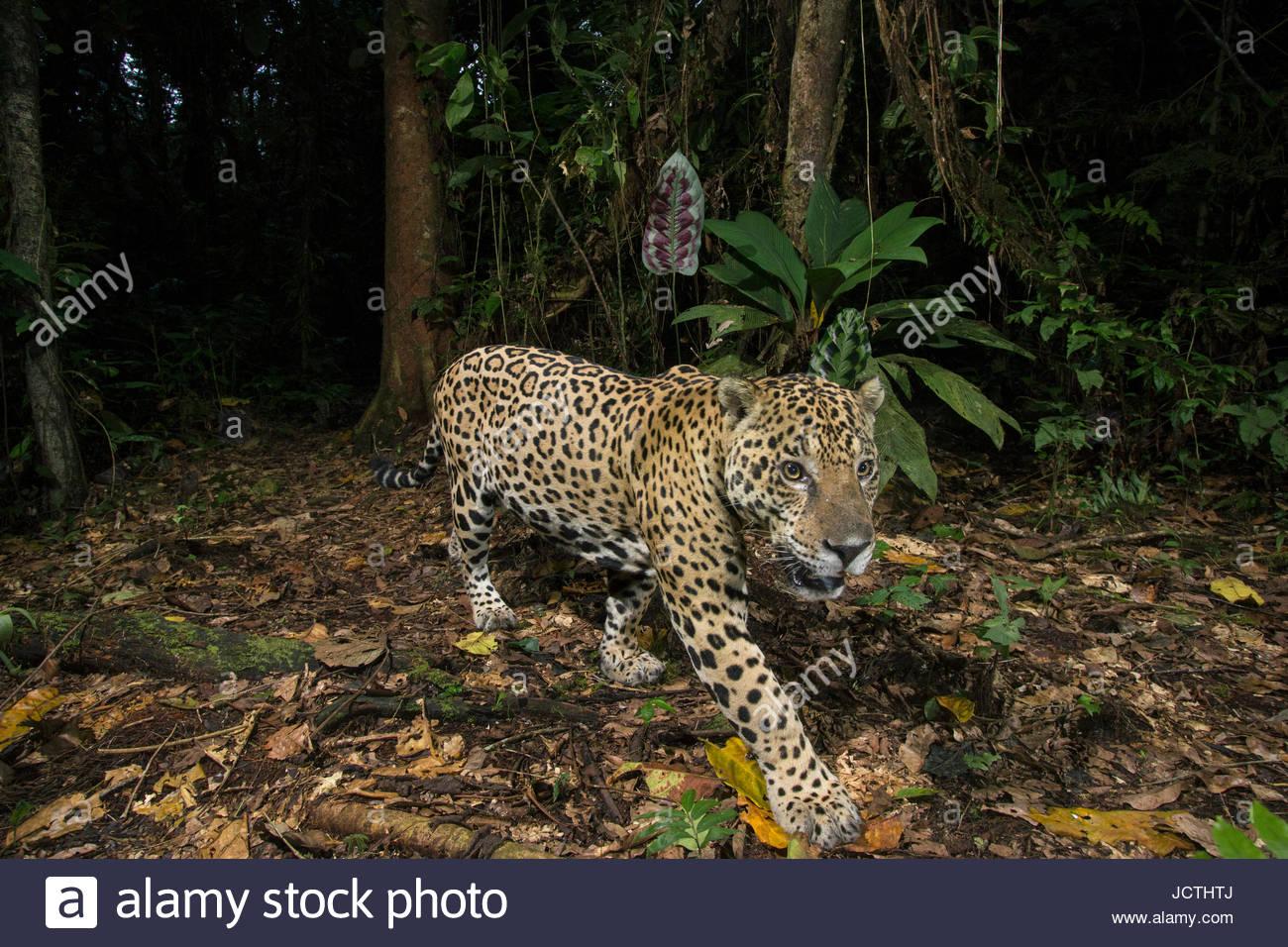 Remote-Kamera fängt einen Erwachsenen Jaguar im Manu Nationalpark. Stockbild