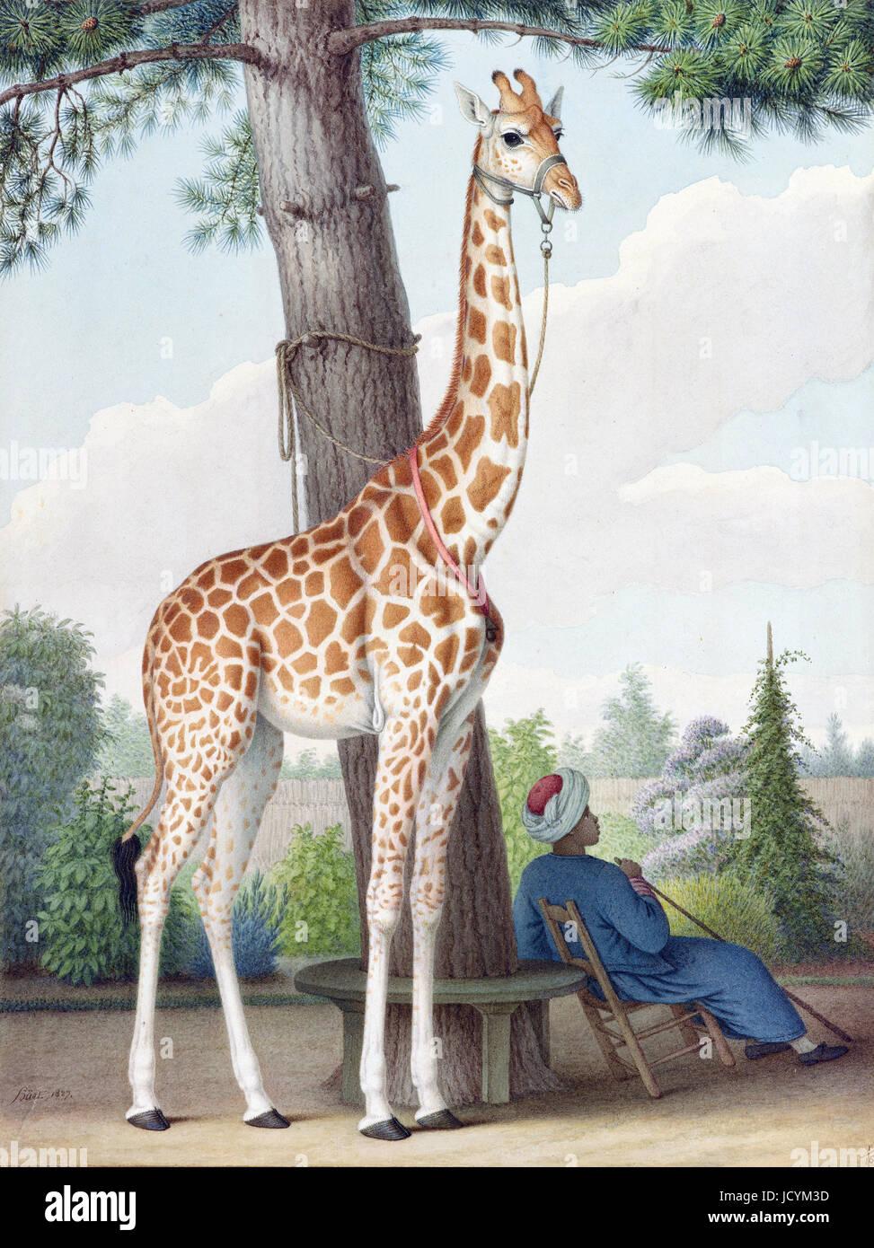 Nicolas Huet, der jüngere, Studie der Giraffe, Charles X von dem Vizekönig von Ägypten 1827 Aquarell Stockbild