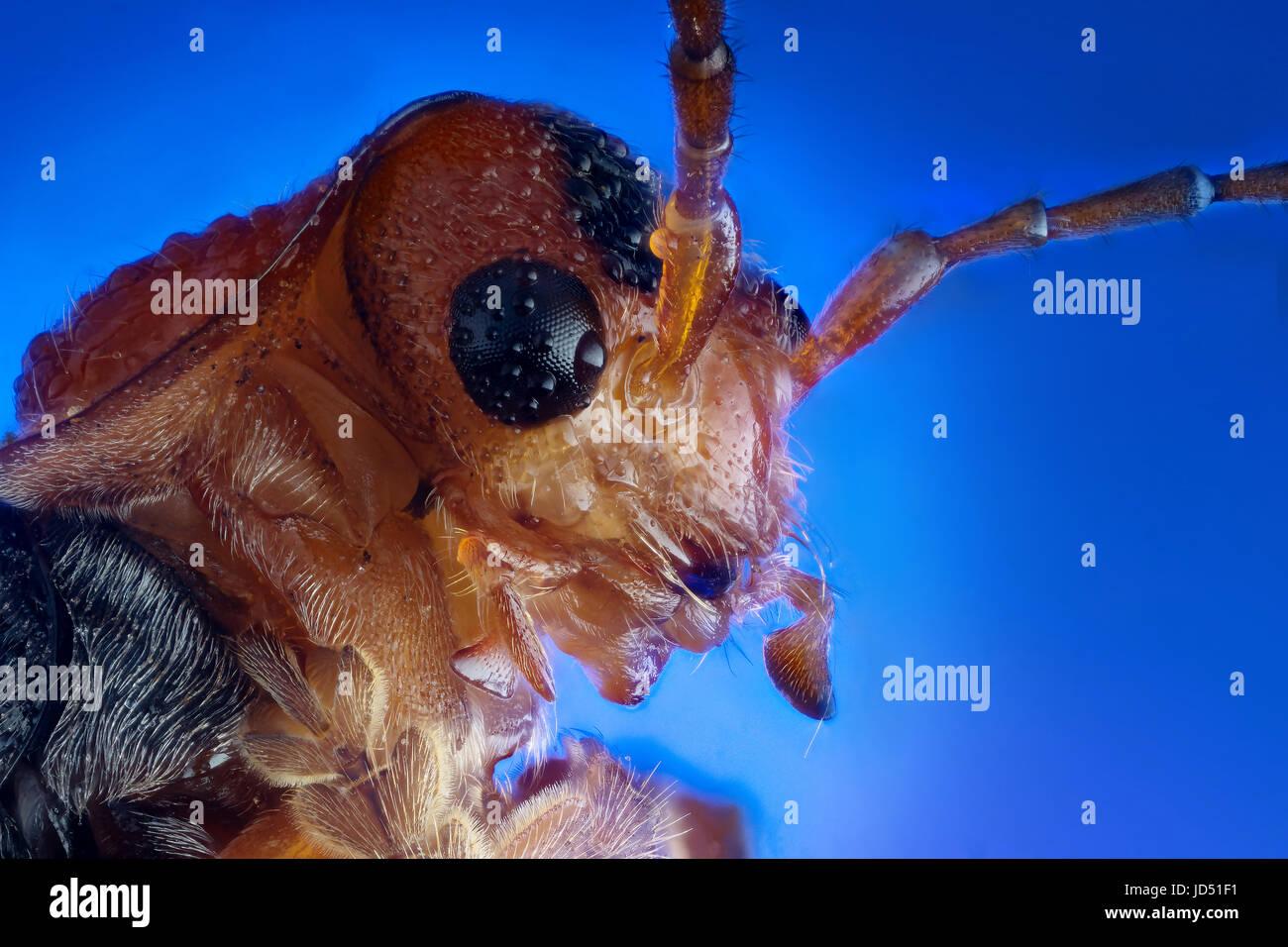 Leiter der Soldat Käfer (Cantharis Fusca) extreme Makro-Fotografie Stockbild