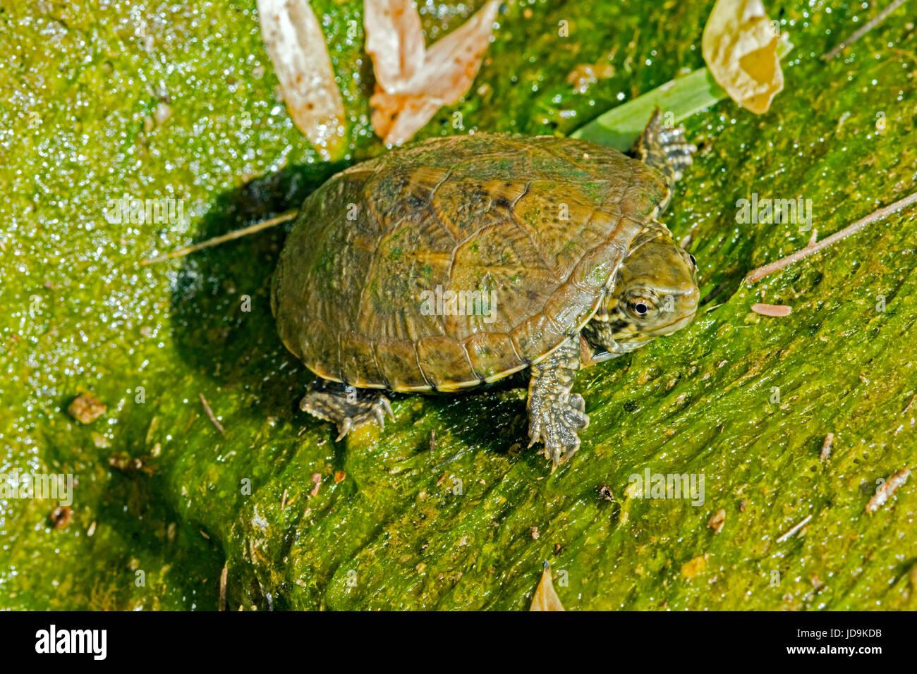 Sonora Schlamm Schildkröte Kinosternon Sonoriense Kalifornien Gulch, Santa Cruz County, Arizona, Vereinigte Stockbild