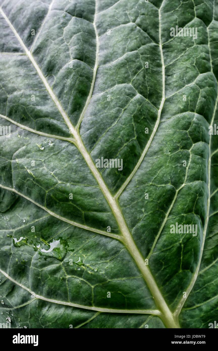 Hintergrund grün strukturierte Kohlblatt mit Wasser sinkt nach dem Regen. Stockbild