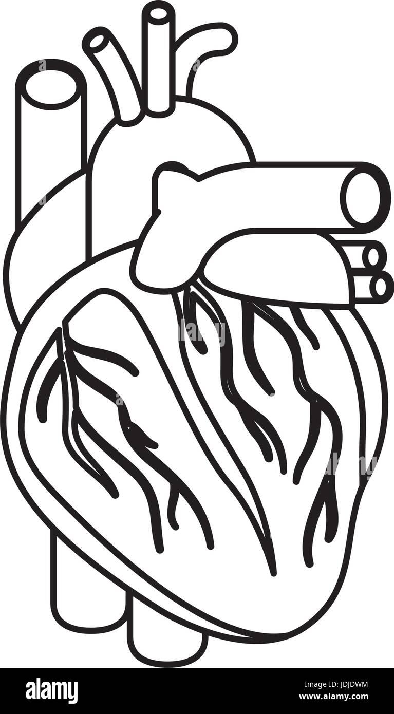 Skizzieren Sie Silhouette Herz System menschlicher Körper Vektor ...
