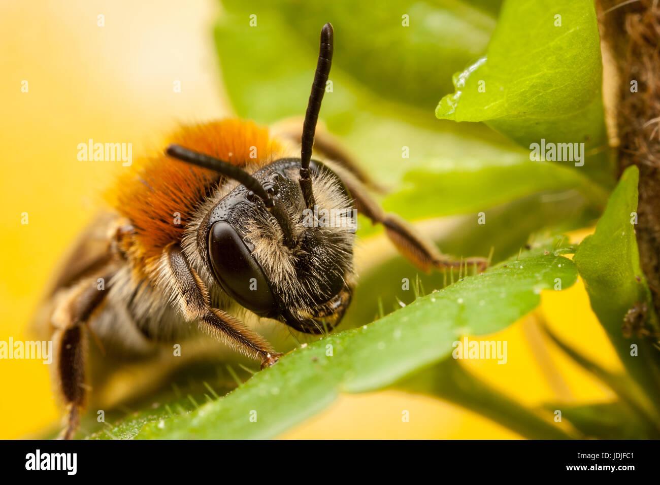 Orange Tailed Mining Bee Andrena Haemorrhoa Stockbild
