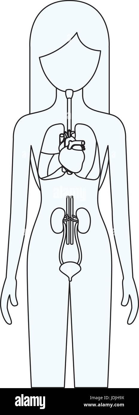 Ausgezeichnet Diagramm Des Menschlichen Körpers Weiblichen Fotos ...