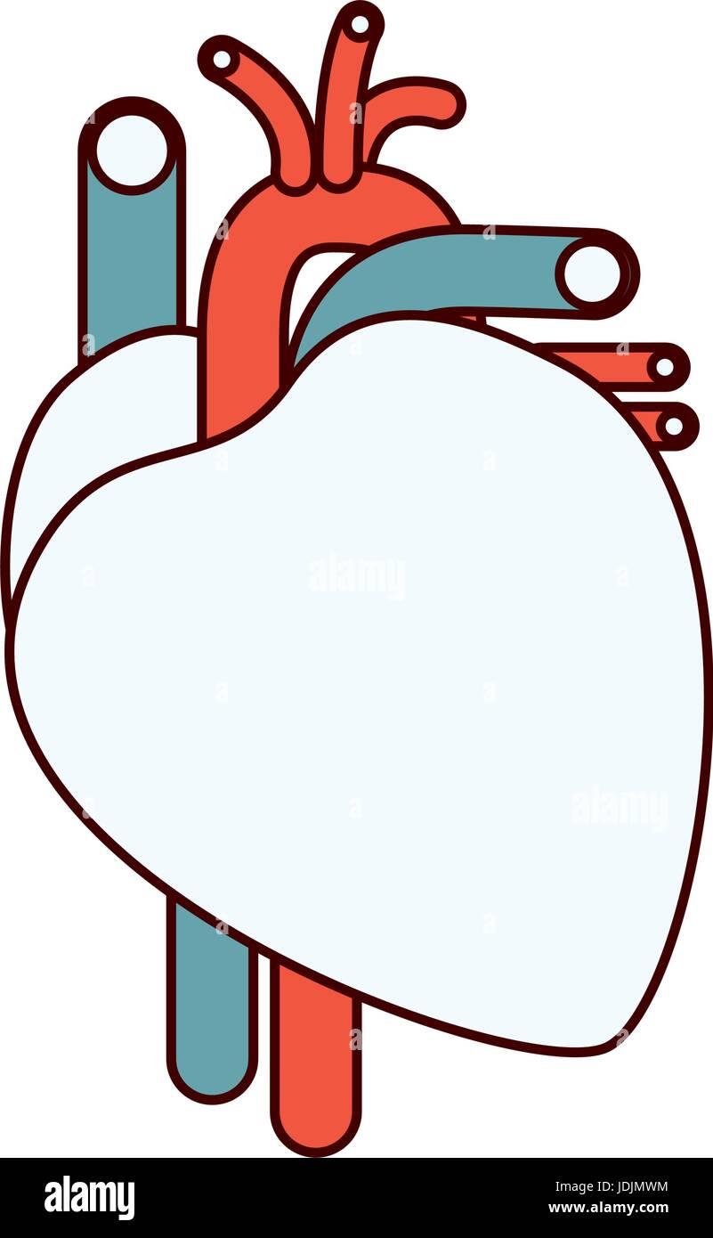 Human Cardiovascular System Stockfotos & Human Cardiovascular System ...