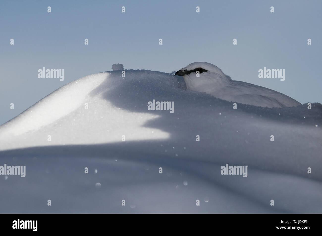 Alptraum Schneehuhn, Kleid Lagopus Muta, Schneehuhn, Alptraum Schneehuhn im Winter in den Schnee, Alpenschneehuhn, Stockbild