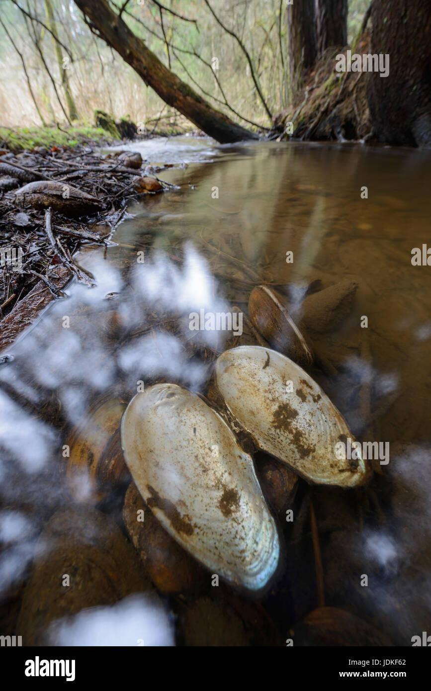Brook Muscheln und ihre Schals liegen in einem Bach, Bachmuscheln Und Deren Schale Stück in Einem Bach Stockbild