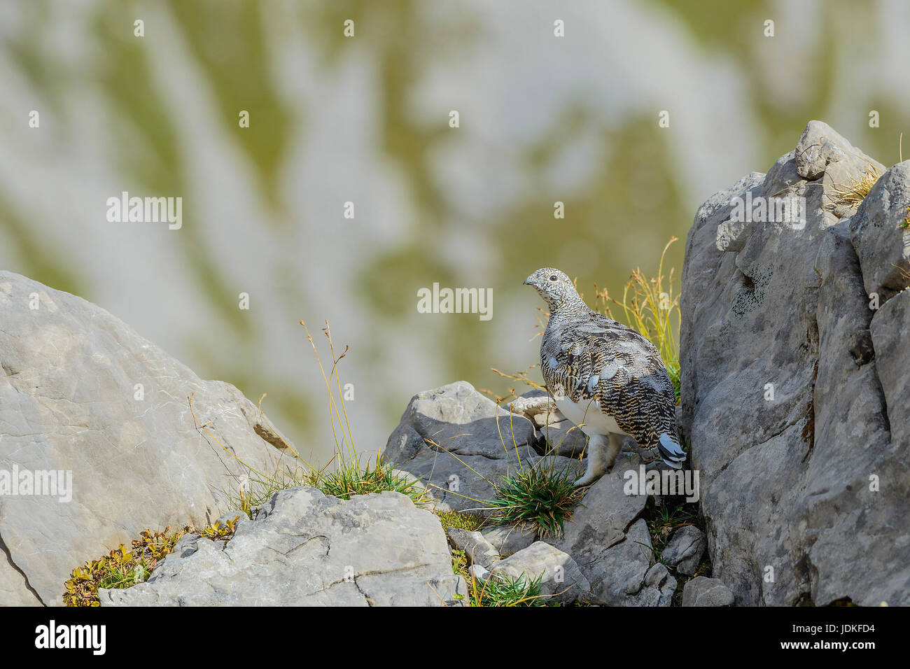 Alptraum Alpenschneehuhn steht zwischen Felsen, Alpenschneehuhn Steht Zwischen Felsen Stockbild