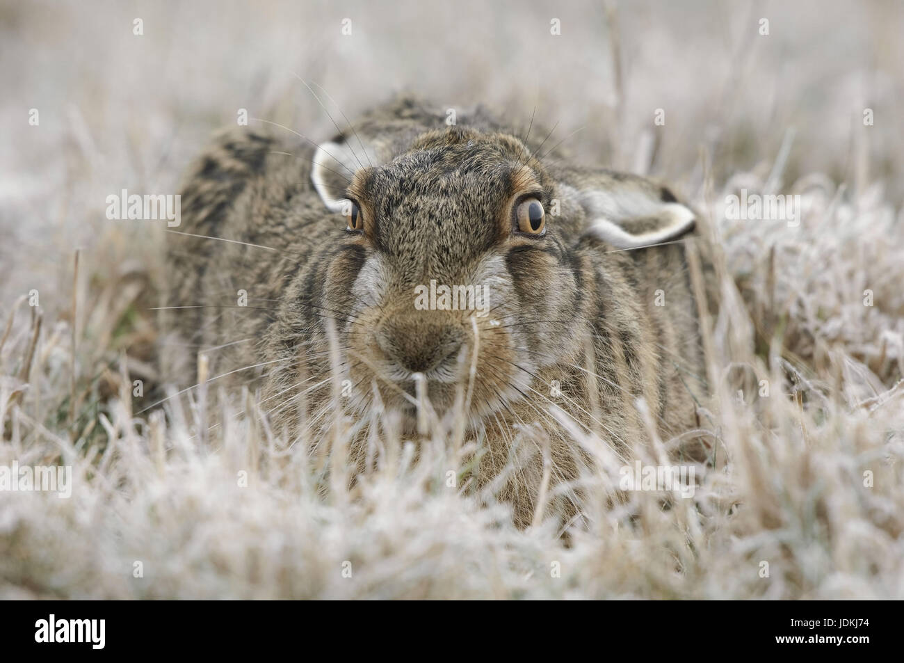 Feld-Hase, Lepus Europaeus, Feldhase, Feld-Hase mit Rauhreif auf dem Rasen verbirgt Feldhase, Feldhasen, Feldhase Stockbild