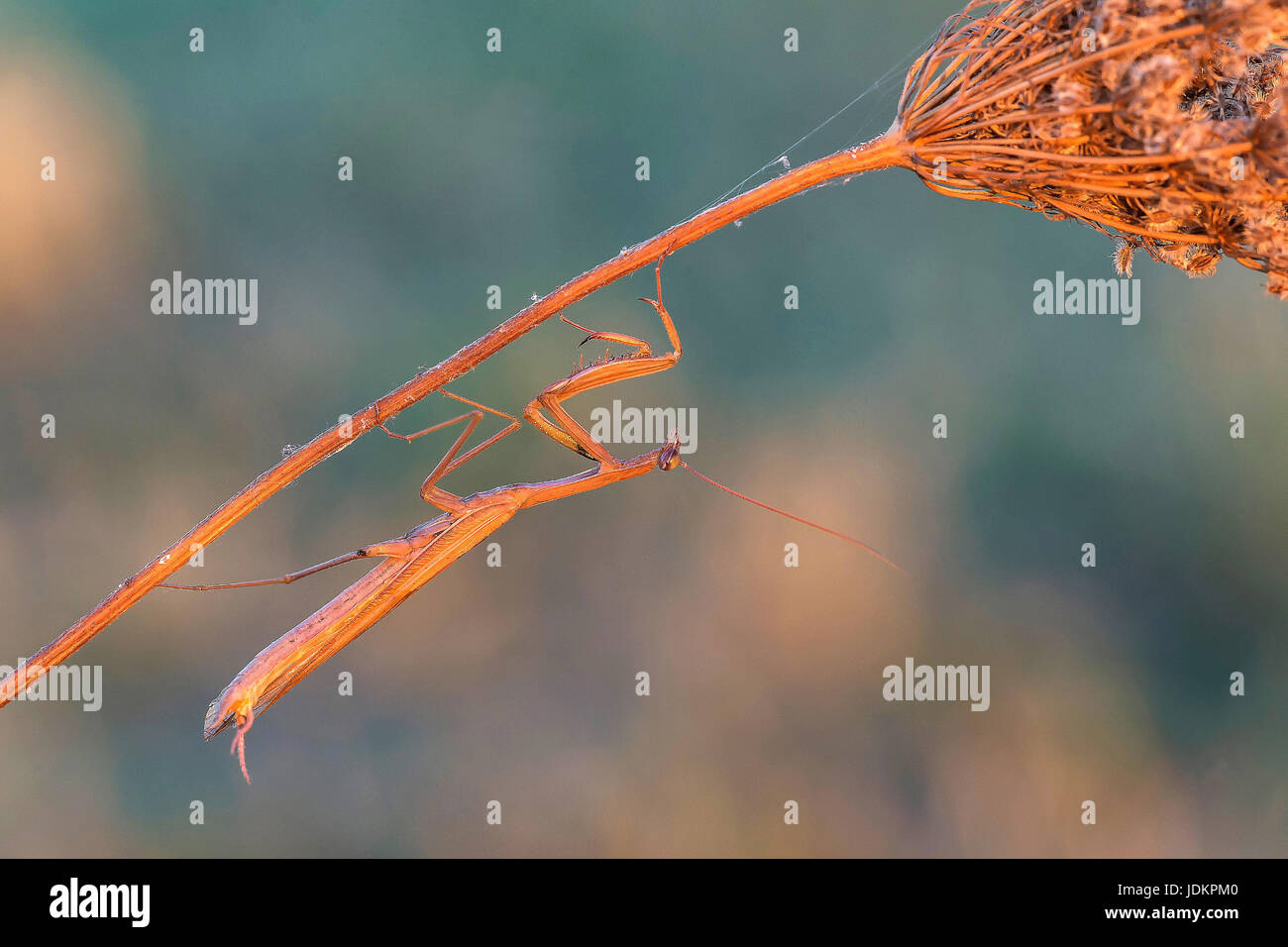 Gottesanbeterin (Mantis Religiosa) Stockbild