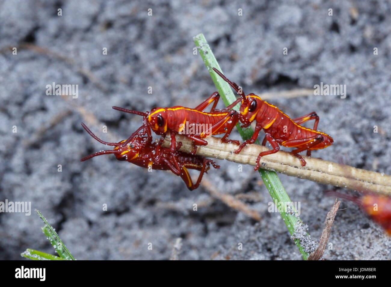 Lümmel Heuschrecke Nymphen, Romalia Guttata, ergeben sich aus dem Boden in großen Gruppen. Stockbild