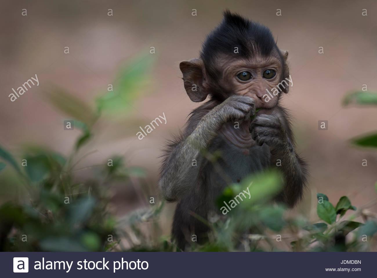 Ein junger Affe in Angkor Thom. Stockbild