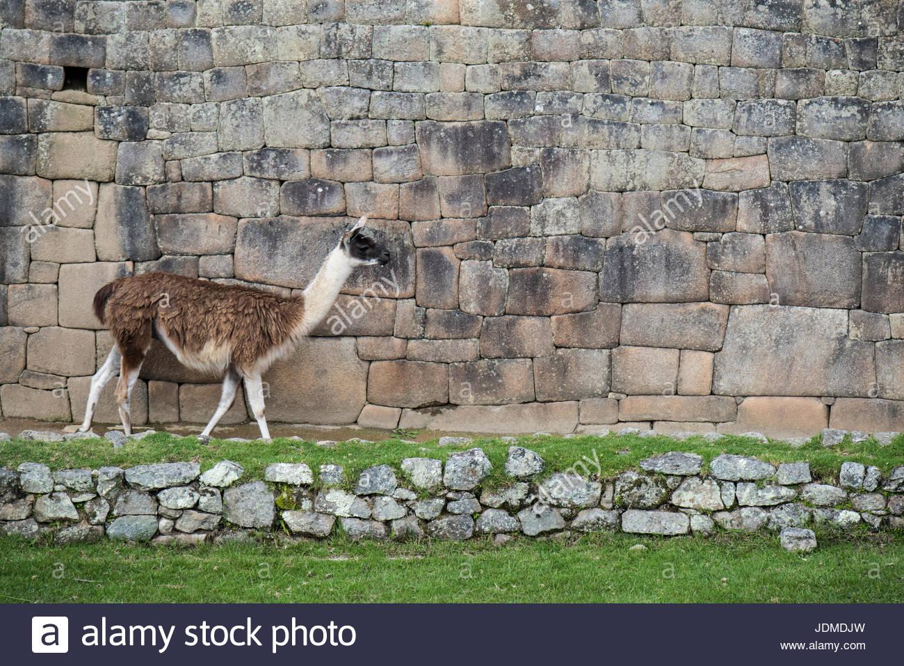 Eine Lama Wanderungen entlang einer Wand in Machu Picchu. Stockbild