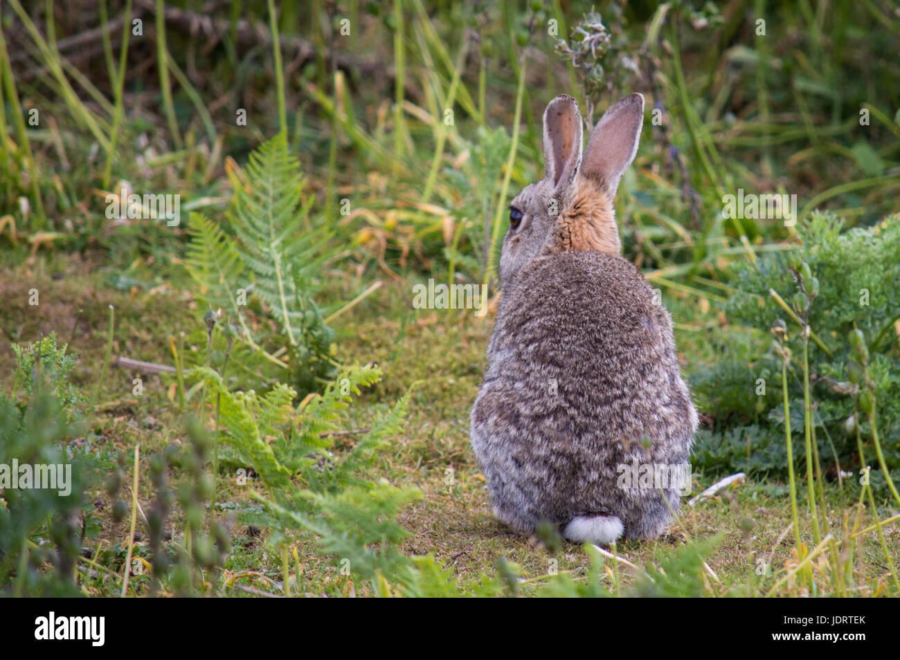 wilde kaninchen von hinten stockfoto bild 146197595 alamy. Black Bedroom Furniture Sets. Home Design Ideas