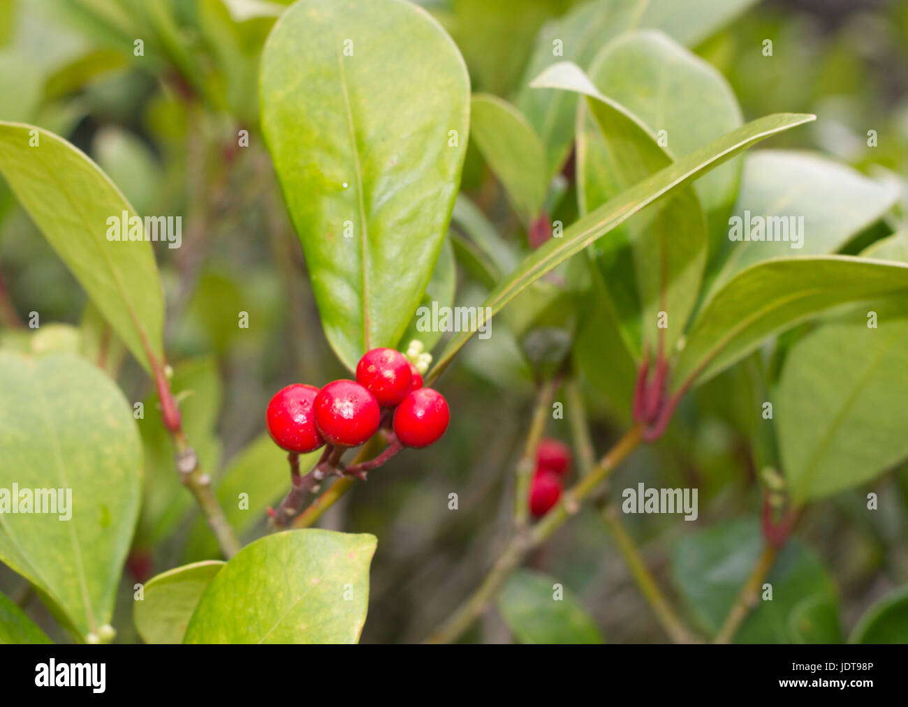 skimmia japonica pflanze mit bl ttern und roten beeren japanische sorbus stockfoto bild. Black Bedroom Furniture Sets. Home Design Ideas