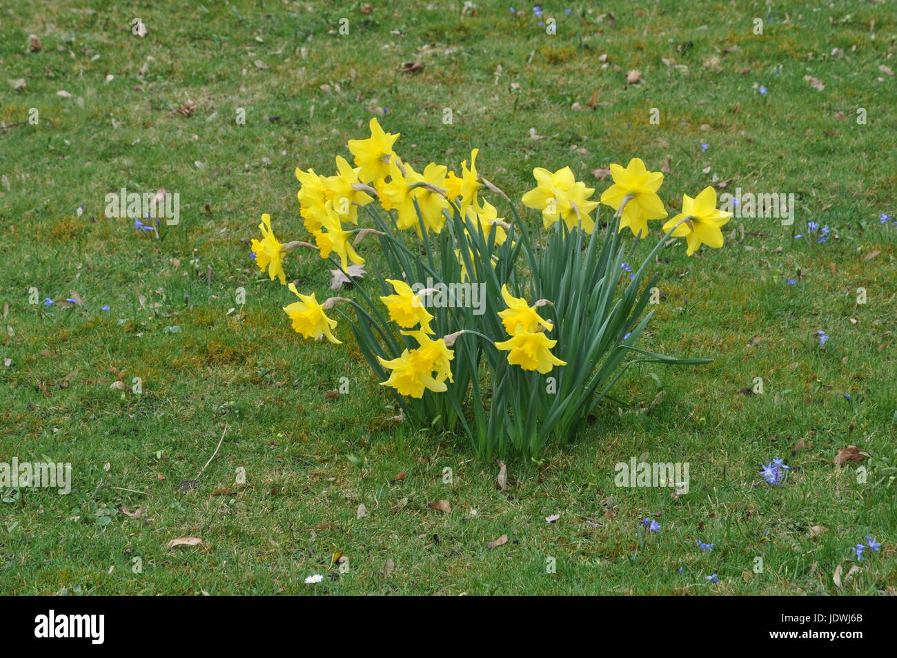 Osterglocke Osterglocken Narzisse Narzissen Blume Blumen Blute