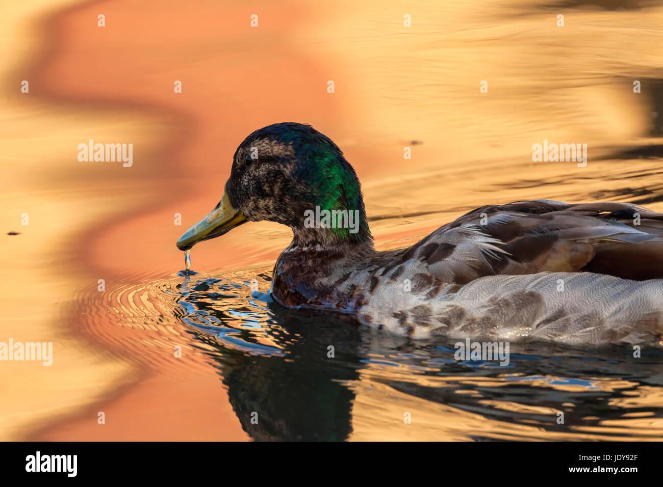 Eine Stockente Vogel für Mahlzeit am frühen Morgen unterwegs Stockfoto