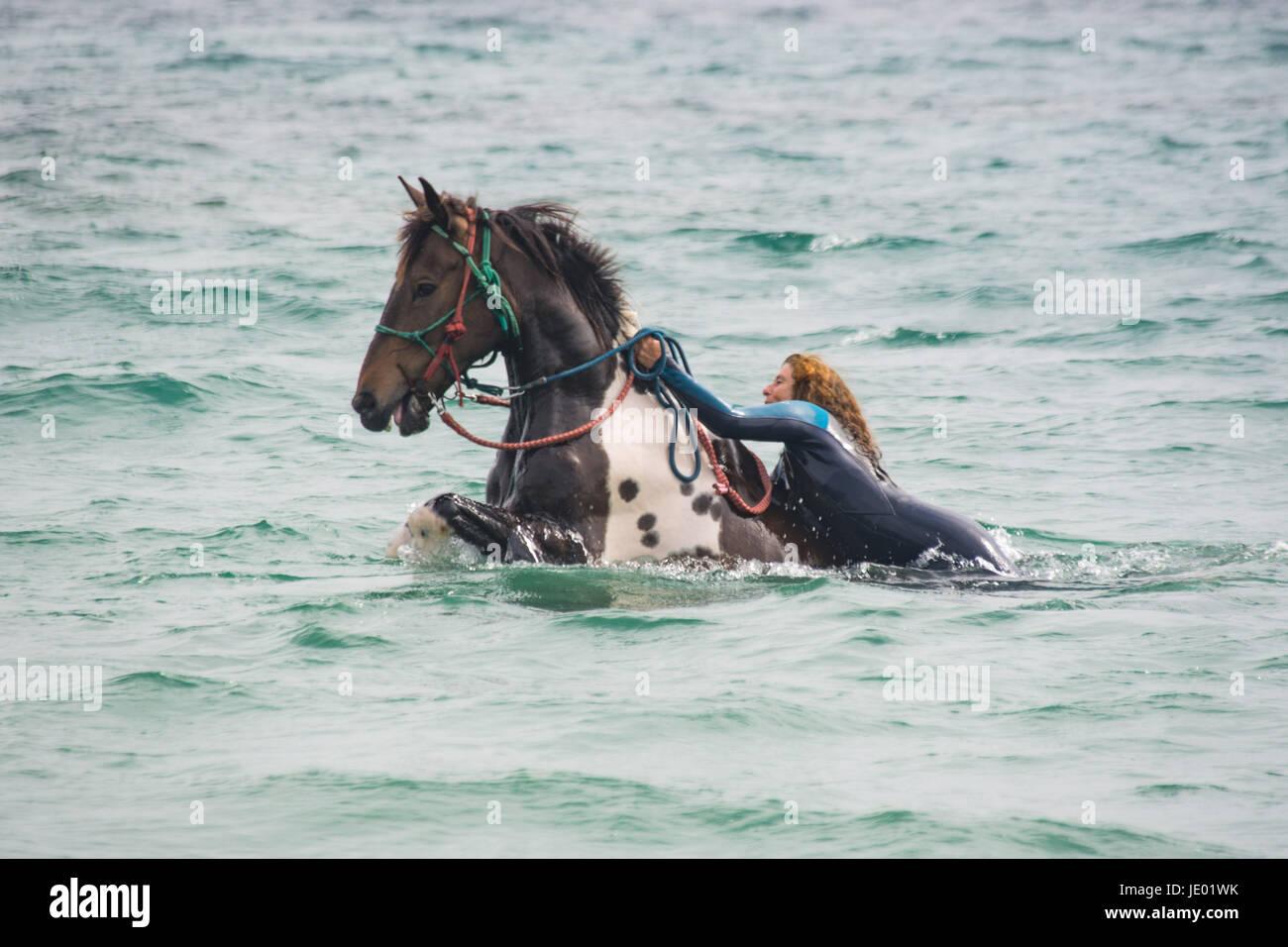 Langer Rock, in der Nähe von Marazion, Cornwall, UK. 21. Juni 2017. Eines der Cornwall-schwimmen-Pferde, mit Stockbild