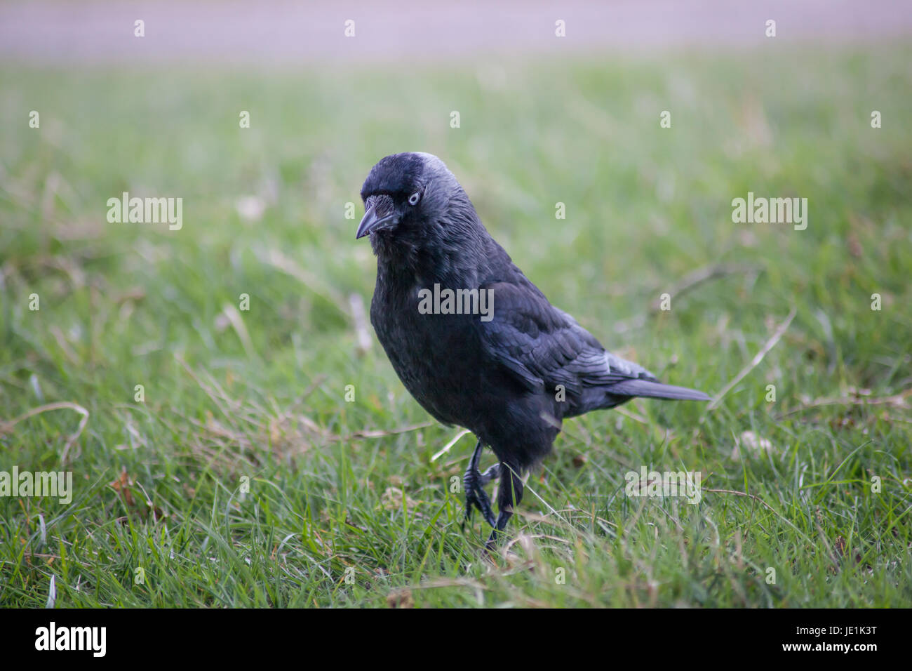 Eine Dohle - ein schwarzer crowlike Vogel mit blauen Augen - auf dem Rasen, London, UK Stockbild