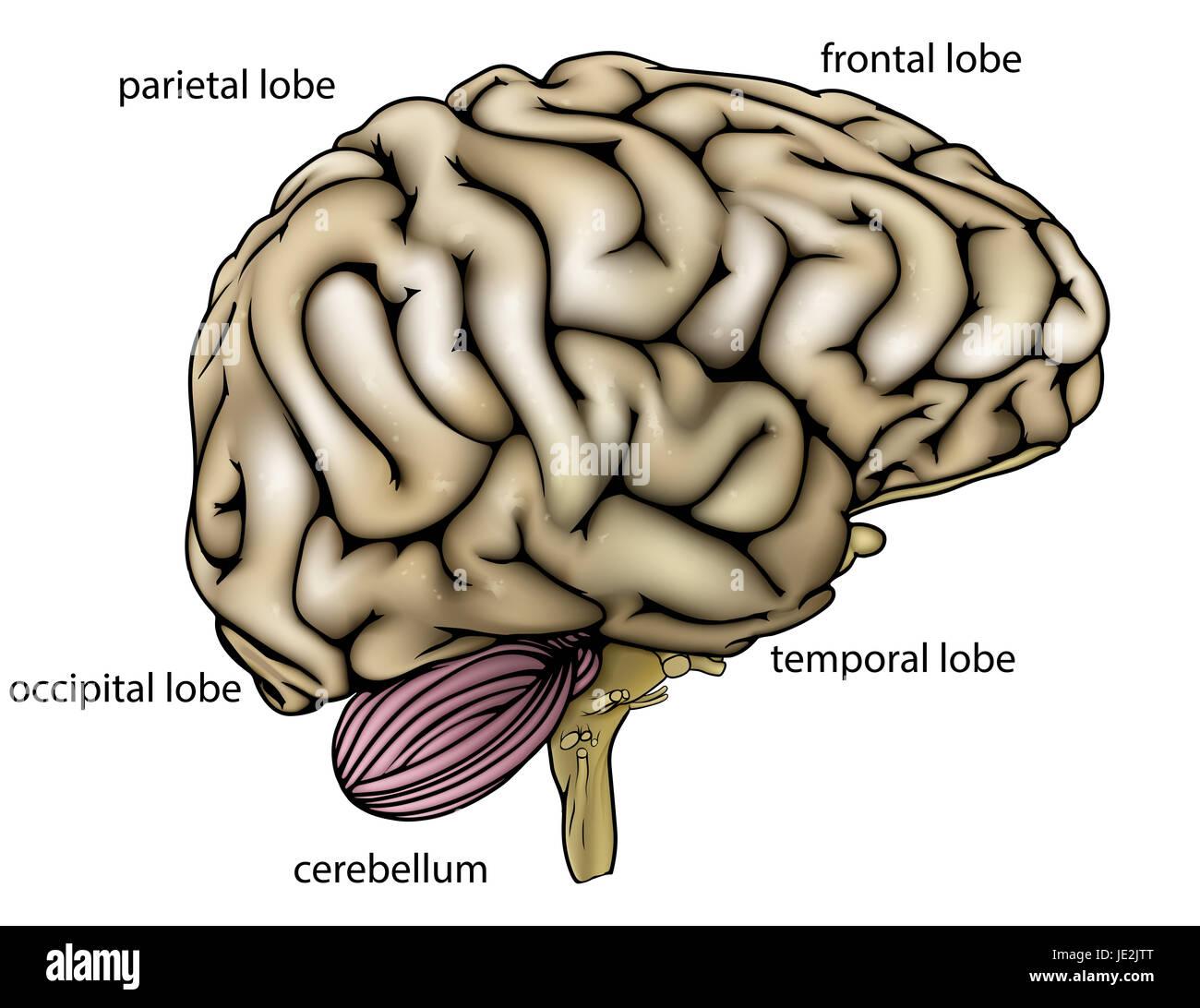Fantastisch Gehirn Axiale Anatomie Galerie - Anatomie Von ...