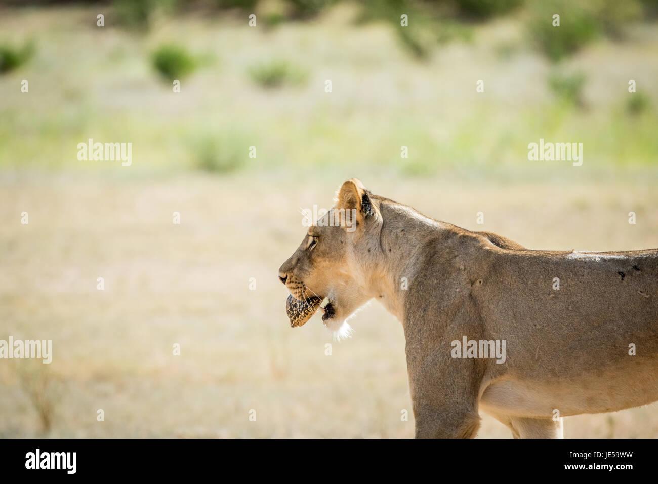 Cougar aus SüdafrikaTopdating-Seiten von Indien
