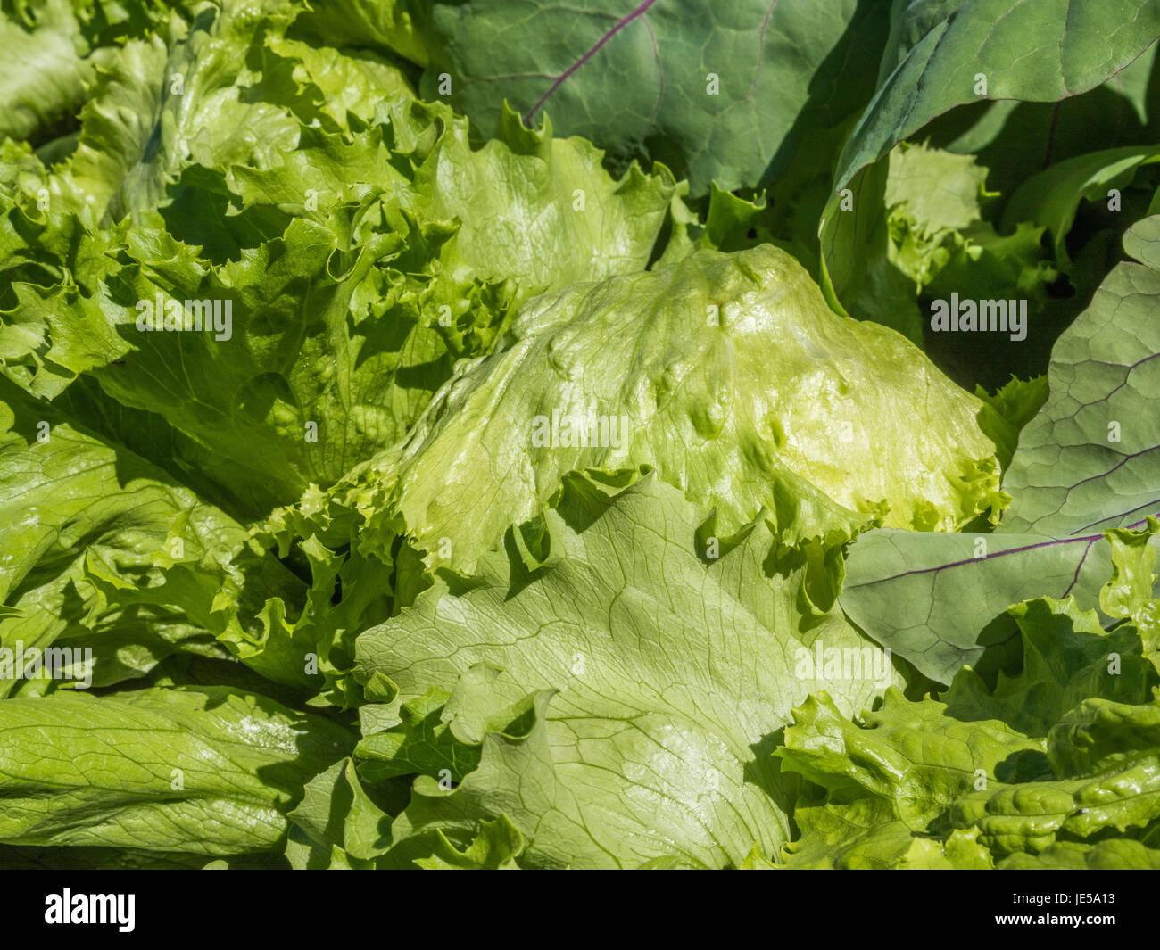 Salat Pflanzen In Einem Hochbeet Im Krautergarten Im Kloster