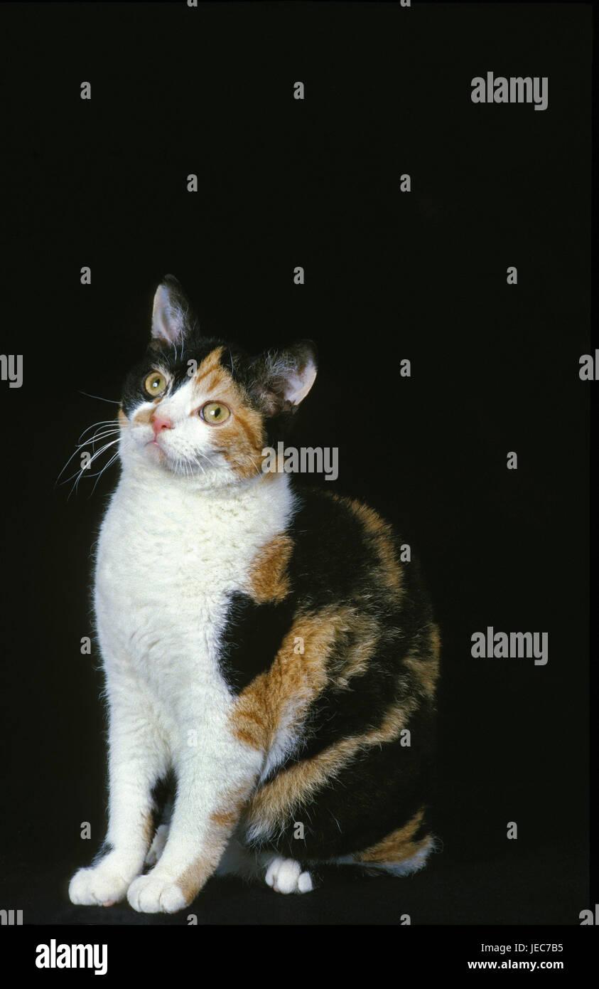 Amerikanische Draht Haare Katze Stockfoto, Bild: 146557353 - Alamy