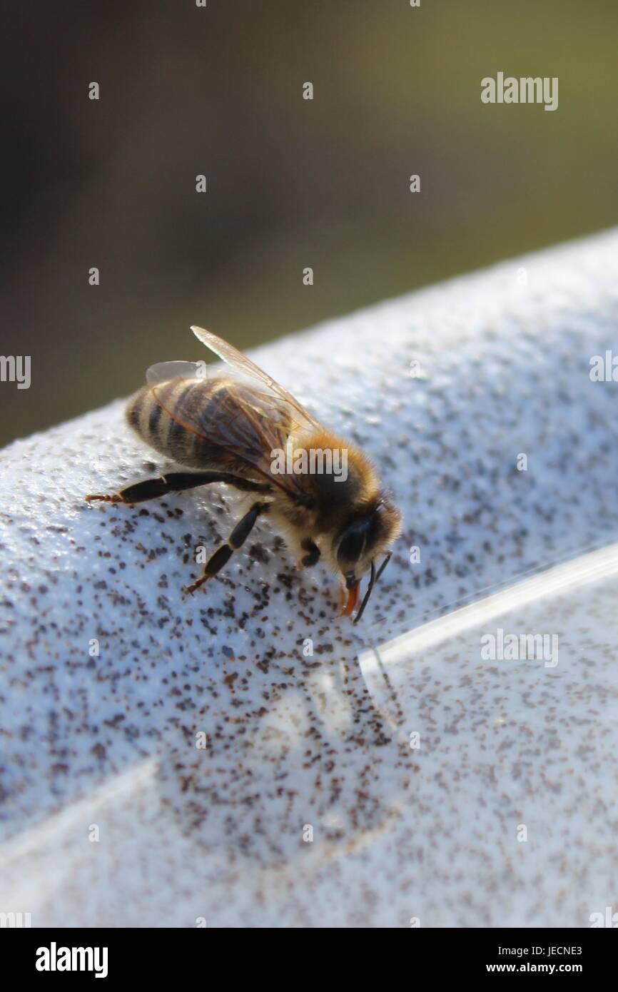 Eine durstige Biene am Rande einer Wasserschale Stockfoto