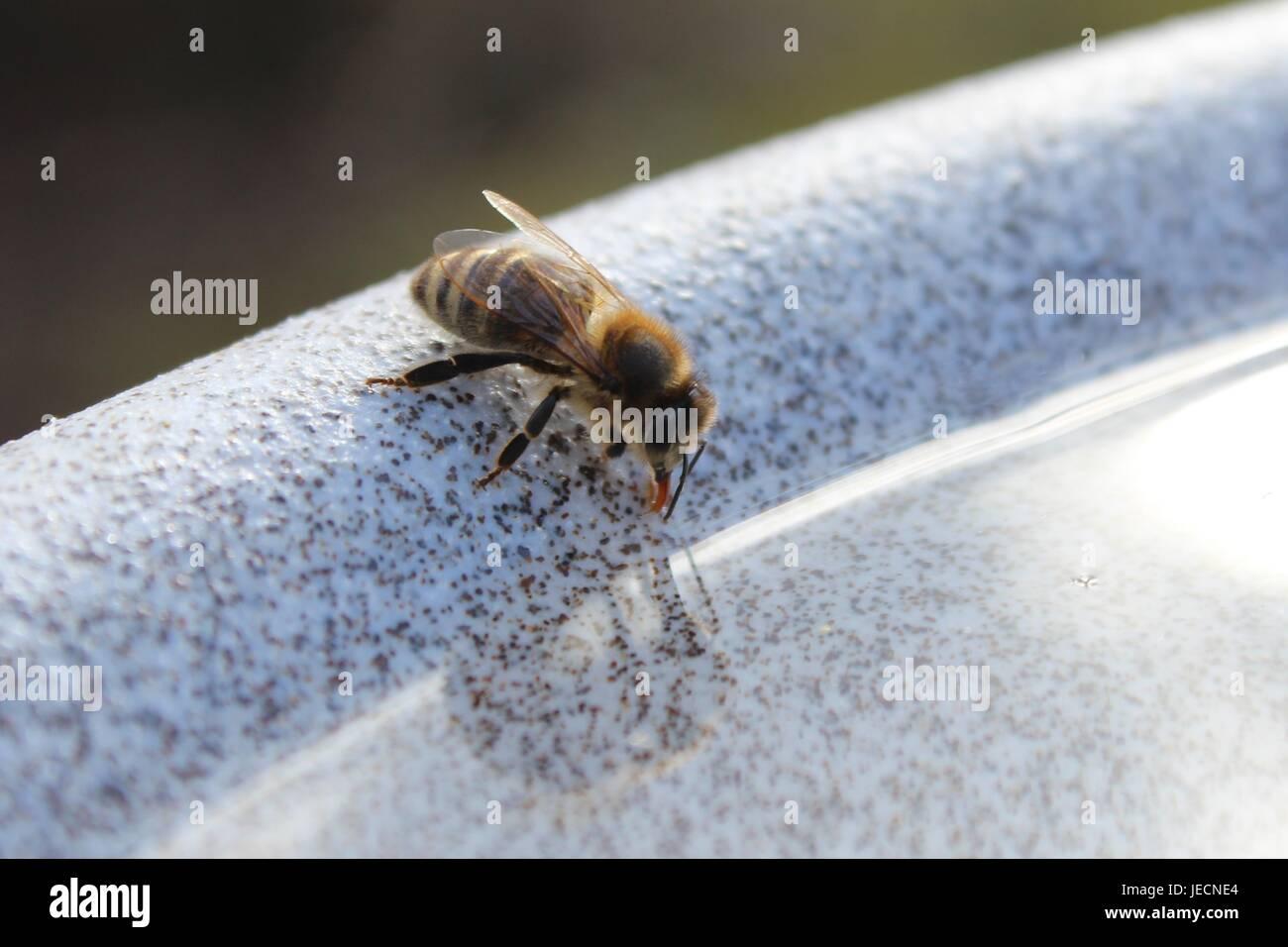 Eine durstige Biene ist aus einer Wasserschüssel trinken. Stockfoto