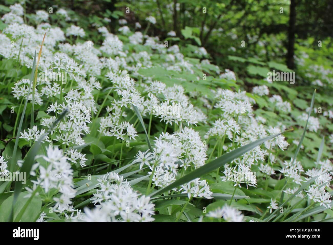 Allium Ursinum blüht im Mai. Stockfoto