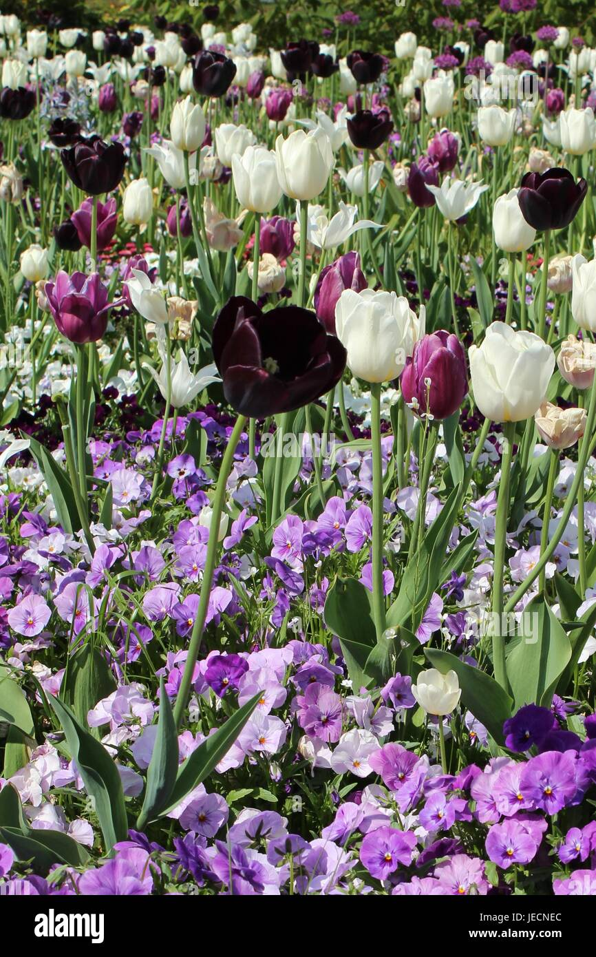 Blumenbeet mit Tulpen Stockfoto