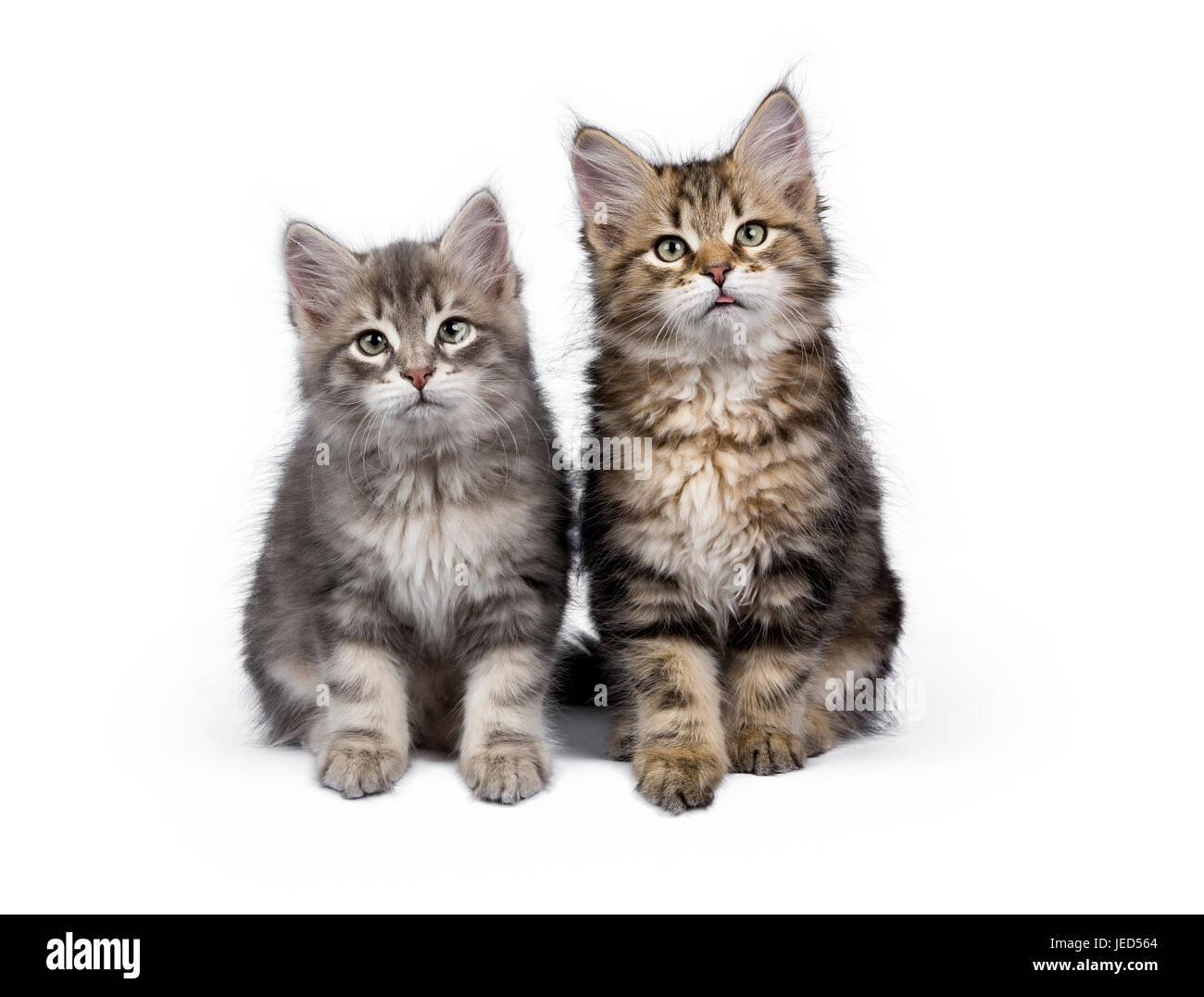 Zwei y-Sibirische Waldkatze/Kätzchen saß auf weißem Hintergrund die Kamera isoliert Stockbild