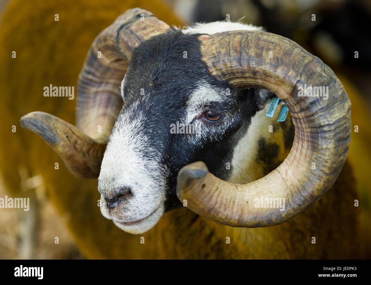 Landwirtschaft, Schafe: Porträt eines Blackface-RAM bei der Royal Highland Show, Ingliston, Edinburgh. Stockbild
